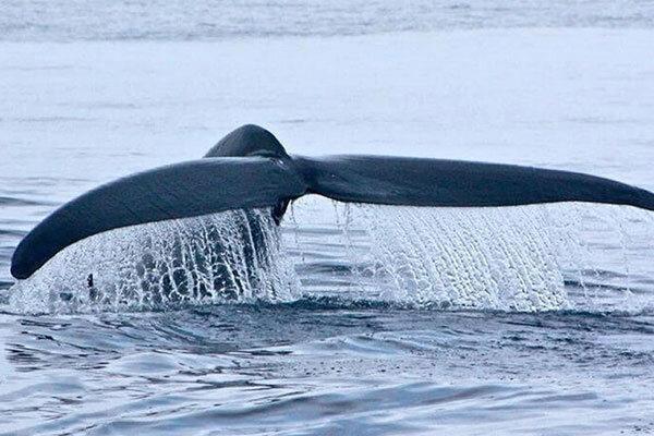 فیلم ، نهنگ 18 متری به ساحل بوشهر آمد