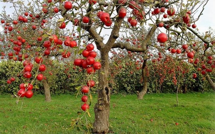 خواص دارویی و درمانی سیب خواص دارویی و درمانی سیب
