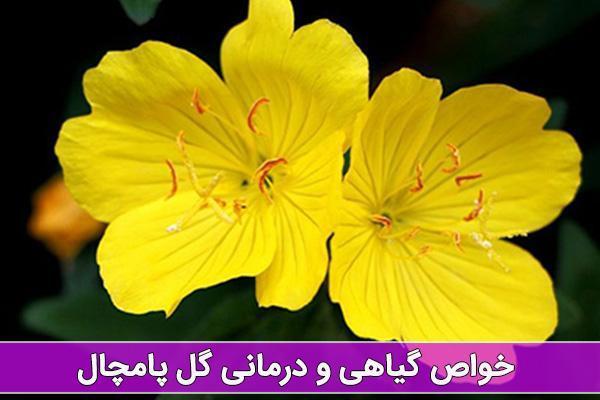 خواص گل پامچال در درمان بیماری ها