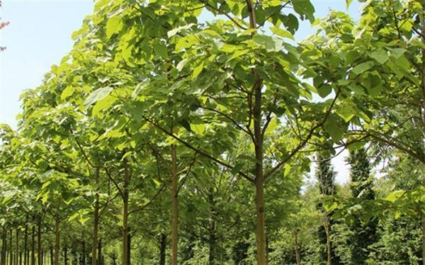 مخالفت با کشت درخت غیربومی پالونیا