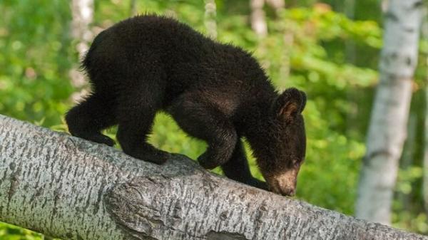 این بیماری مرموز خرس ها را مهربان می کند!